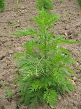 ARTEMISIA ANNUA ajenjo dulce  2600 semillas frescas bio