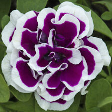 50 Double Purple White Petunia Seeds Containers Hanging Baskets Window Seed 960