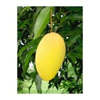Mango Pineapple  Tropical Fruit Tree Plant