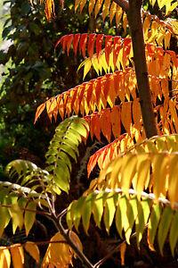 Essigbaum Rhus typhina  100-125 cm  Containerpflanze Herbstfärber