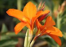*UNCLE CHAN* 15 SEED ORANGE CANNA LILY RARE COLOR TROPICAL PLANT STUNNING