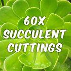 60x Mixed Succulent Plant Cuttings (15x types) Succulents Varieties *SALE*