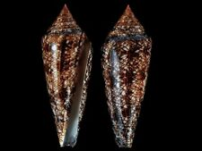 Conus gloriamaris - Shells from all over the World