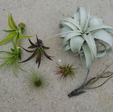 Tillandsia Xerographica air plant starter pack