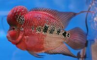 RED DRAGON FLOWERHORN CICHLID 2.0 INCH  CICHLID live fresh water aquarium fish
