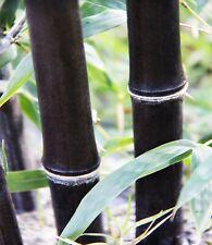 1 Exotic 'Black Bamboo' BUDDING Bamboo Rhizome/Root 1 foot (Phyllostachys nigra)