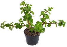 Jadebaum Portulacaria afra Elephant Bush Speckbaum Sukkulente Bonsai RAR