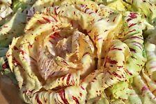 250 Graines de Chicorée Sauvage Di Castelfranco - légumes salade méthode BIO