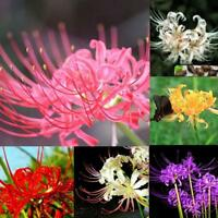 5x Bulbs Lycoris Radiata Spider lily Bulb Seeds Home Garden Flower Seed Dec H9Y5