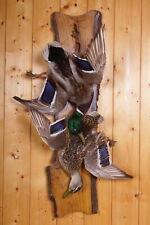 Schönes Stockenten-Stillleben  Mallard Duck Taxidermy mit Bescheinigung