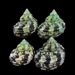Sea Shells - Turbo chrysostomus 38-43mm 4Pcs