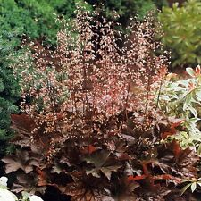 Heuchera Palace Purple Perrenial Shrub Garden Plant 9cm Pot