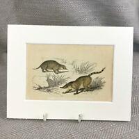 1853 Coati Meerkat Wild Animali Wildlife Vittoriano Antico Originale Stampa