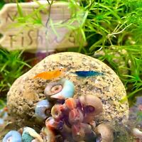 15 Ramshorn Snails, Colorful Red/Pink/Blue/Brown +3 FREE Floating Plants