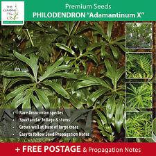 "Philodendron ""Adamantinum X"" seeds. RARE Amazonian species. Foliage Plant."