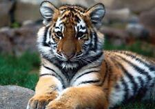 Photo Poster Print Art * All Sizes Animal Poster 3589 TIGER PANTHERA TIGRIS