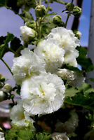 *Beautiful* Perennial White Flowering Plant Holly Hock 10 Seeds