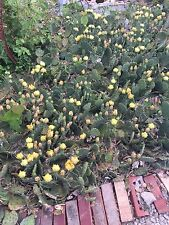 Winter Hardy Prickly Pear Cactus - Lot Of 100