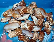 1/2 POUND OF NATURAL TURKEY WING SEA SHELLS 2 to 2-1/2