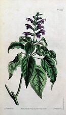Viola con fiori salvia Salvia CURTIS Colorato A Mano Antico Botanico Stampa 1810