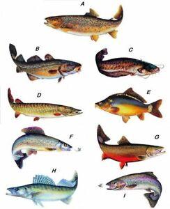 Jenzi Fisch-Aufkleber in verschiedenen Größen und Fische, für den Angler
