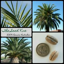 10 CANARY ISLAND DATE PALM TREE SEEDS (Phoenix canariensis) Tropical Edible