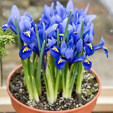 25 Dwarf Iris Bulbs 'Reticulata' Top Quality Early-Spring Flowering Bulbs