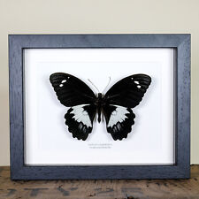 Swallowtail Butterfly Butterfly (Papilio Gambrisius) insect taxidermy