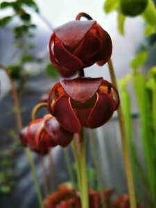 Sarracenia Purpurea ssp. purpurea 20 seeds 2020