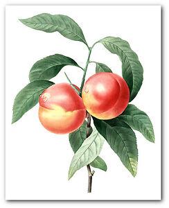 Peach Print, Botanical Fruit Art, 8 x 10 Inches, Unframed