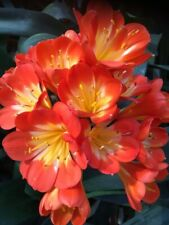 Clivia miniata broad leaf x 3 Seed. UK National Collection Holders.