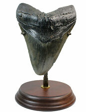Megalodon Tooth M3 Fossil 4.4 Inches