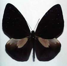 EUPLOEA PHAENARETA HOLLANDI - unmounted butterfly