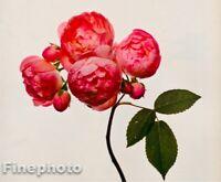 1971/80 Vintage IRVING PENN Botanical FLOWER ROSE BUDS Photo Engraving Art 12X16