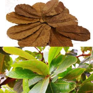 "20pcs to 1000 Indian Almond Catappa Leaves 12-15cm/6"" Ketapang Shrimp Betta A+"