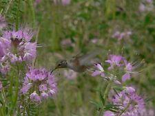"""Rocky Mountain araignées Fleur 20 graines exotiques """"tout seulement 1 euros"""""""
