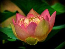 Yellow Pink Water Lily Bowl Lotus Seeds (1x-pcs)
