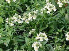 Nemesia- (Nemesia Strumosa) White Knight - 100 seeds