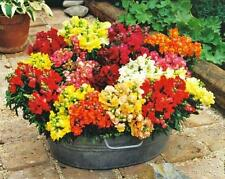Snapdragon Dwarf Hobbit Mix Seed Annual Border Bedding Mixed Colour Flowers