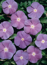 Vinca Heatwave Blue with Eye Seed Annual Large Flower Adaptable Low Maintenace