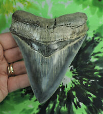 "Megalodon Sharks Tooth  4 5/8'' inch ""BLUE SITE"" BEAUTY! fossil sharks teeth"