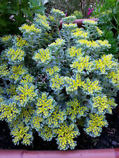 Fetthenne Sedum spathulifolium Purpureum Frühlingsblüher
