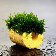 Flame moss + Ceramic Tube - Live aquarium fish tank plants low light tropical