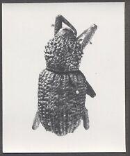 Unusual Vintage Photo Beetle Bug Scientific Specimen Entomology 258138