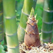100Pcs Seeds Phyllostachys Pubescens Moso-Bamboo Seeds Garden Plants DIY Decor