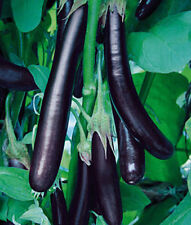 250 graines AUBERGINE LONGUE ITALIENNE (Sol. mel.)K76 LONG PURPLE EGGPLANT SEEDS