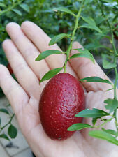 10 AUSTRALIAN BLOOD LIME SEEDS, harvest on day of order