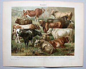 Rinder, Rinderrassen - 13 Abbildungen - Chromolithographie um 1898