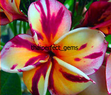 "Plumeria/Plants/Flowers/"" Suriya""/Fresh 55 seeds!"