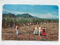 ETHNIC VINTAGE POSTCARD PUERTO RICO Cutting sugar cane 1967